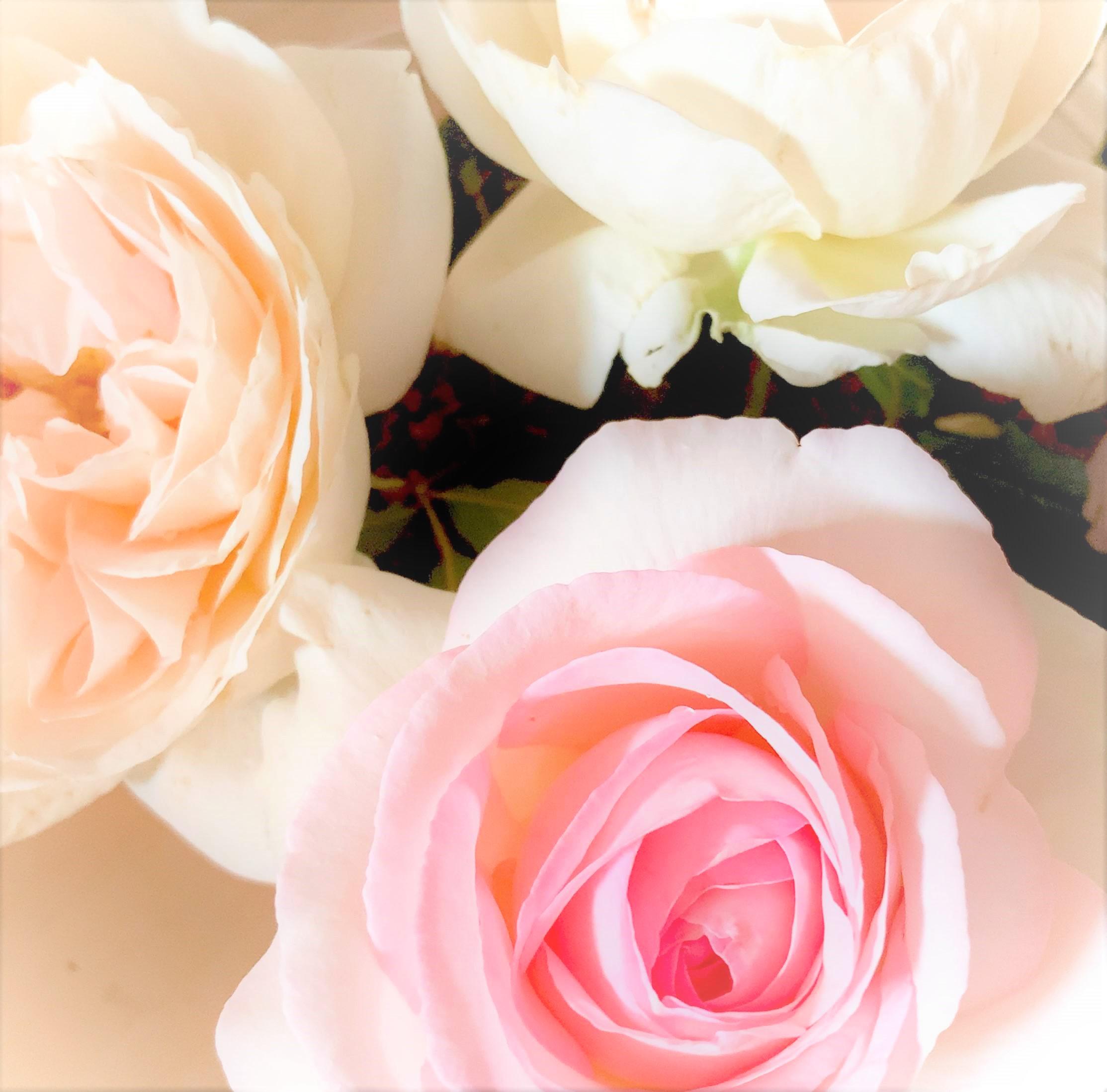 挿し木のバラが咲きました