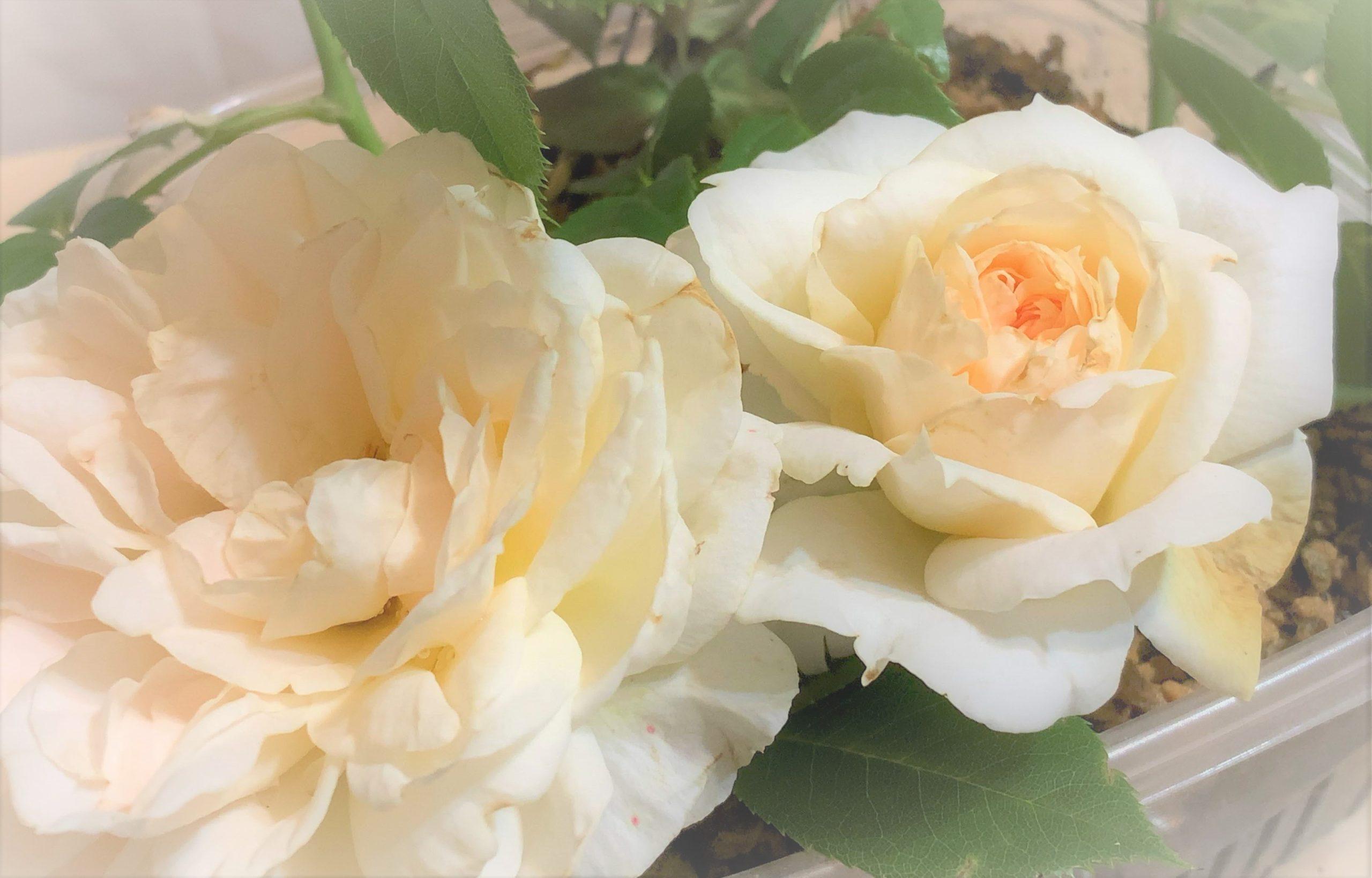 バラは愛のシンボル